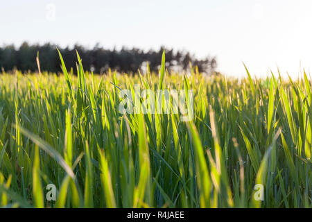 green unripe cereal - Stock Photo