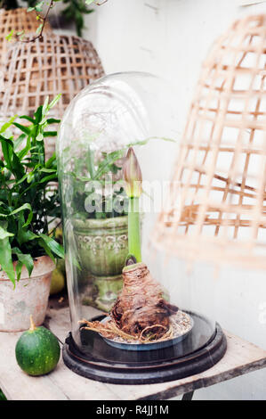 Amaryllis plant in a glass cloche - Stock Photo