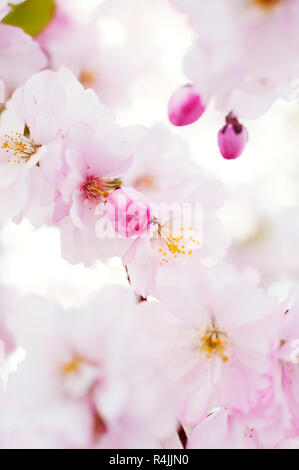 Close up of cherry blossoms in Stockholm, Sweden - Stock Photo