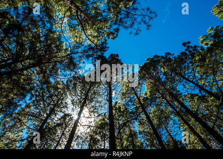 Ground view to the top high pines in the forest with the sun and the sunlight in the middle of the leafs. igh trees nature outdoor beauty concept