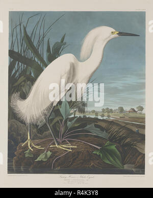 Snowy Heron, or White Egret. Dated: 1835. Dimensions: plate: 65.4 x 52.7 cm (25 3/4 x 20 3/4 in.)  sheet: 100 x 68 cm (39 3/8 x 26 3/4 in.). Medium: hand-colored engraving and aquatint on Whatman wove paper. Museum: National Gallery of Art, Washington DC. Author: Robert Havell after John James Audubon. John James Audubon. ROBERT HAVELL DER JÜNGERE. - Stock Photo