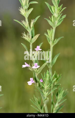 Summer Savory - Satureja hortensis - Stock Photo