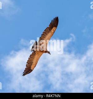 A White-backed Vulture in flight over Southern African savanna - Stock Photo