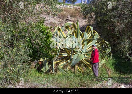 Agave americana,  Agave Marginata, Variegated sentry plant Stock Photo