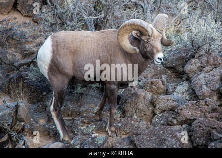 Large Rocky Mountain bighorn sheep ram in the Rio Grande Gorge near Taos, New Mexico - Stock Photo