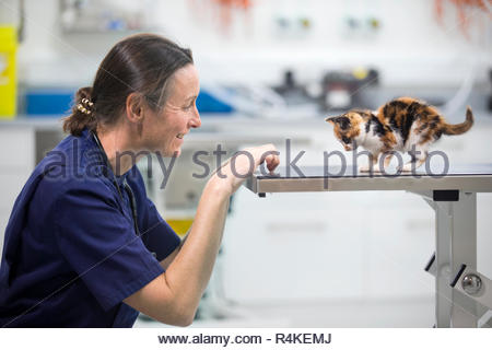 Vet examining pet kitten cat on table in vet surgery - Stock Photo