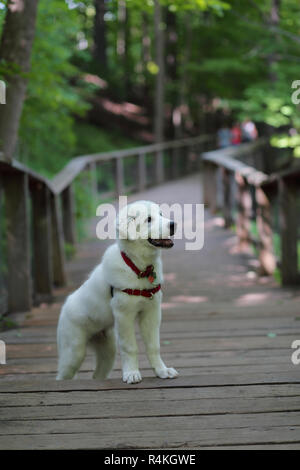 Great Pyrenees mix puppy in Sherwood Park, Toronto, Ontario, Canada. - Stock Photo