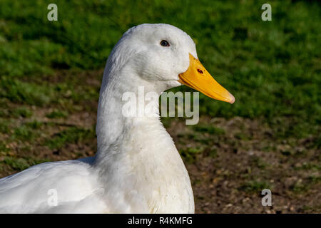 Portrait of heavy white American Pekin Duck - Stock Photo