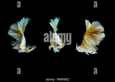 Siamese fighting fish or Betta fish isolated on black background. - Stock Photo