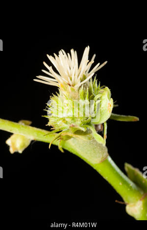 Female flowers of the Sweet Chestnut deciduous tree, Castanea sativa, photographed in a studio against a black background. Dorset England UK GB - Stock Photo