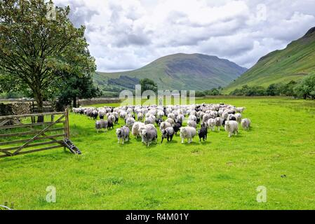 Farmer gathering flock of Herdwick sheep with help from his sheepdog, Wasdale Head Lake District National Park Cumbria England UK - Stock Photo