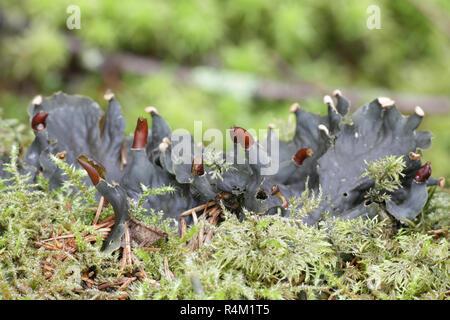 Dog lichen, Peltigera praetextata - Stock Photo