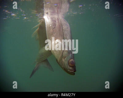 underwater close up of dead fish is floating on water surface - Stock Photo