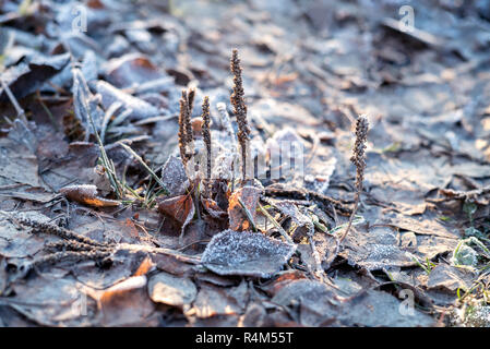 Closeup nature detail of small frosted icy plants and dry, dead frozen leaves with rime covering the ground with crisp, chilly hoar frost - Stock Photo