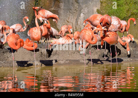 Group of Carribean flamingos - Stock Photo
