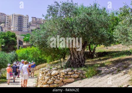 Tourists examine an ancient Olive Tree on a terrace in Nazareth Village Israel in the open air museum of Nazareth Village Israel. This site provides a - Stock Photo