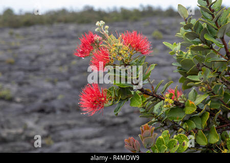 Hawaii Volcanoes National Park, Hawaii - The blossoms of the Ohi'a tree, or Ohi'a Lehua (Metrosideros polymorpha), on a lava flow from the Kilauea vol - Stock Photo