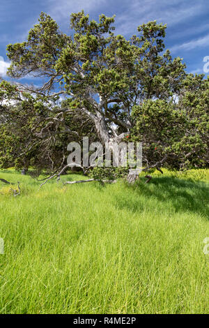 Hawaii Volcanoes National Park, Hawaii - An Ohi'a tree, or Ohi'a Lehua (Metrosideros polymorpha). The Ohi'a is endemic to Hawai'i, and is usually the  - Stock Photo