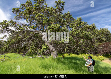 Hawaii Volcanoes National Park, Hawaii - A park ranger talks about the Ohi'a tree, or Ohi'a Lehua (Metrosideros polymorpha). The Ohi'a is endemic to H - Stock Photo