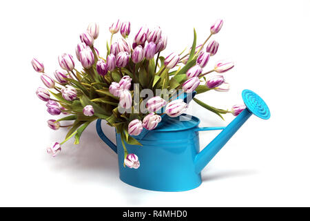 tulpenstrauss in turquoise watering can - Stock Photo