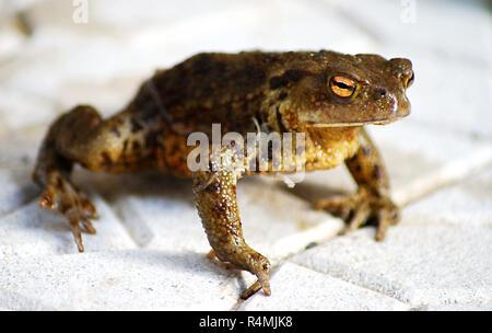 Ugly frog - Stock Photo