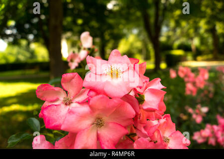 Rosa canina, commonly known as the dog rose - Stock Photo