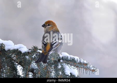 A rear view  of a wild female Pine Grosbeak  (Pinicola enucleator) bird perched on a snow covered spruce tree branch looking back in rural Alberta Can - Stock Photo