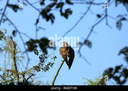 Wedge tailed Eagle, bird of prey perching on a tree looking for prey, Nepal - Stock Photo