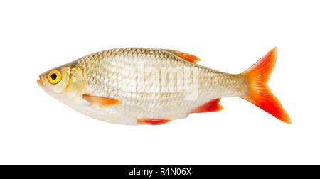 Fish. Fresh raw fish rudd isolated on white background - Stock Photo
