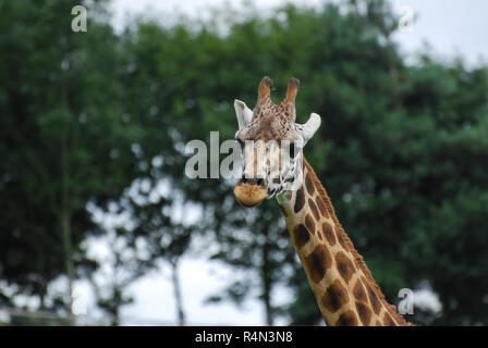 A head and neck picture of a Giraffe - Stock Photo