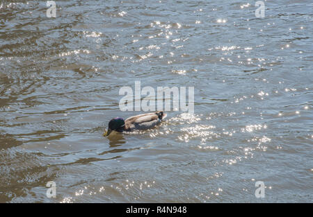 Male mallard duck with vibrant plumage in the DuPage River in Naperville, Illinois - Stock Photo