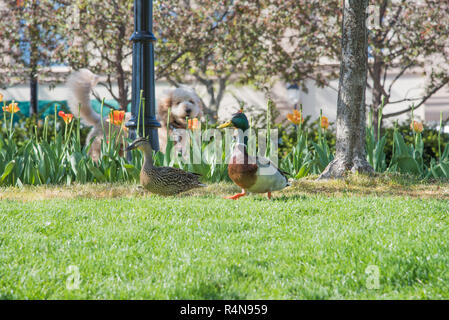 Male and female mallard ducks walking quickly on green grass with tail wagging dog behind flowerbed in an outdoor park area. - Stock Photo