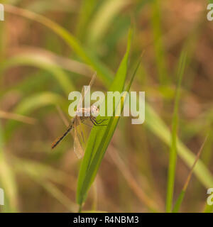 Brown Cherry-Faced Meadowhawk Dragonfly - Stock Photo