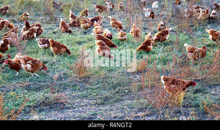 Free running chickens on the farm. - Stock Photo