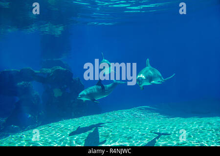 Underwater portrait of happy smiling bottlenose dolphins swimming and playing in blue water - Stock Photo