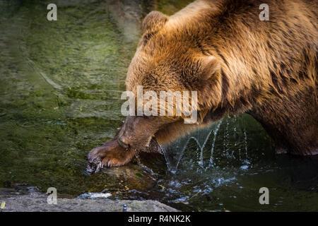 Beautiful brown bear in the bear pit of Bern, Switzerland - Stock Photo