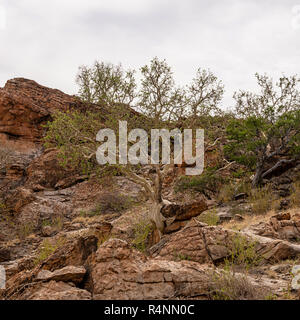 A Large-leaved Rock Fig tree in Limpopo - Stock Photo