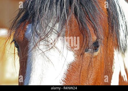 close-up of the eye of a brown-white horse - Stock Photo