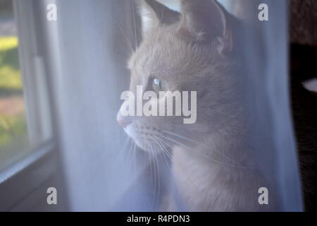 Cat Behind Curtain - Stock Photo