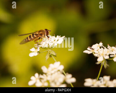 a stripe bug seen from the side close up eyes body and wings eating the pollen from some cow parsley outside in spring light - Stock Photo