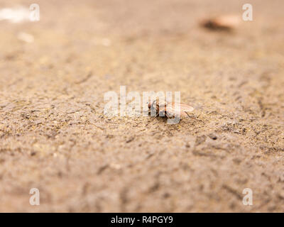 a detailed macro fly resting on the ground taken from the side with selective blur - Stock Photo