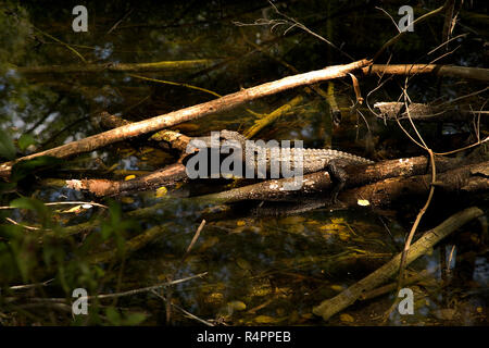 One small baby alligator sitting on a log in a swamp in Big Cypress National Wildlife Reserve, Everglades, Florida. - Stock Photo