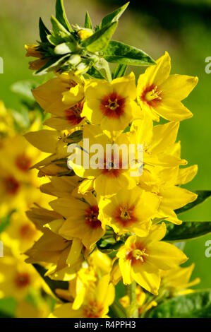 Garden yellow loosestrife Lysimachia vulgaris - Stock Photo