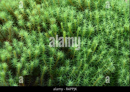 Haircap moss polytrichun sp. growing on forest floor - Stock Photo