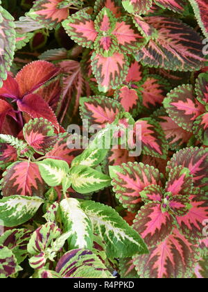 Closeup on the multicolored leaves  from different Coleus painted nettle plants growing together - Stock Photo