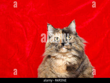 Portrait of one very obese long haired tortoiseshell cat looking directly at viewer, red velvet holiday theme background with copy space. - Stock Photo