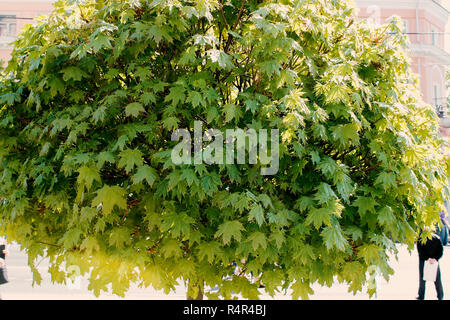 lush deciduous tree - Stock Photo