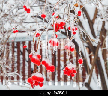 The frozen bunches of viburnum on background of fence - Stock Photo