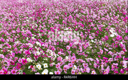 Cosmos flower in field - Stock Photo