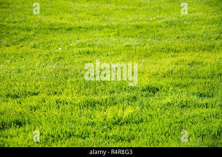 Short green grass background - Stock Photo